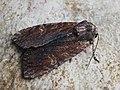 Apamea crenata - Clouded-bordered brindle - Полевая совка сельская (42269918724).jpg