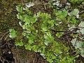 Apfelflechte Peltigera aphtosa OhWeh-001.jpg