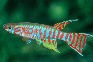 Aplocheilidae - Aphyosemion elberti