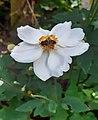 Apis mellifera on Anemone Sylvestris- Honey bee on white anemone flower.jpg