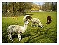 April Alpaka Parc Natural Mundenhof Freiburg expropiated Baron Manors - Master Wildlife ^ Zoo Photography 2013 - panoramio.jpg