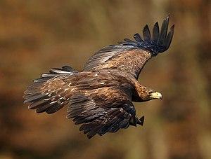 Aquila chrysaetos in flight, Žďárské vrchy, CZ