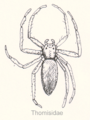 Ara-thomisidae-sp.png