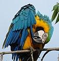 Ara ararauna (Guacamaya azul y amarilla) (14642083164).jpg