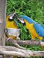 Ara ararauna -two by food bowls -zoo-8a.jpg