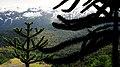 Araucaria 02.jpg