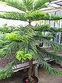 Araucaria heterophylla 10 by Line1.JPG