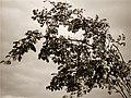 Arbuste B^W - panoramio.jpg