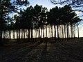 Arcachon trees.jpg