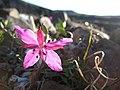 Arctic flowers - 16 (7569356870).jpg