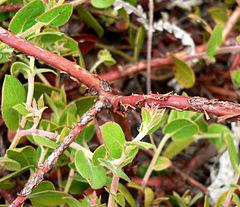 240px arctostaphylos cruzensis 2
