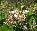 Arctostaphylos tomentosa ssp insulicola 2.jpg