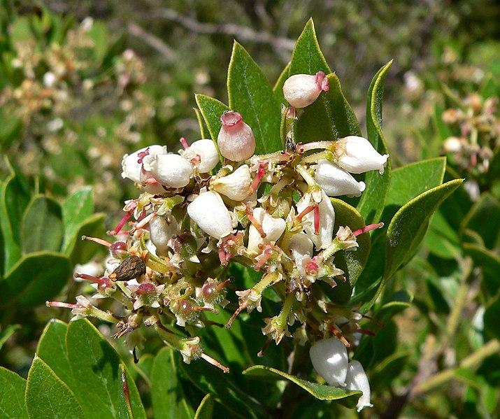 File:Arctostaphylos tomentosa ssp insulicola 2.jpg