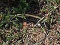 Arenaria serpyllifolia 1.JPG