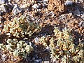 Arenaria tetraqueta subsp. murcica Enfoque 2010-7-17 ArenalJardinBotanicoHoyadePedraza.jpg