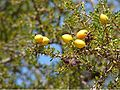 Argan Tree Fruits.jpg