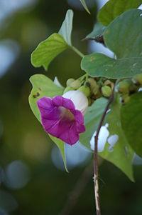 Argyreia mollis2