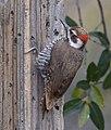 Arizona Woodpecker (33846721591).jpg