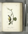 Arkansaw Goldfinch. Male (NYPL b13559627-108442).tiff