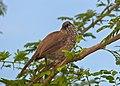 Arrow-marked Babbler (Turdoides jardineii) (12800127784).jpg