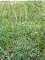 Artemisia pancicii sl22.jpg