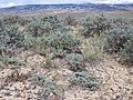 Artemisia pedatifida — Matt Lavin 005.jpg