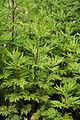 Artemisia verlotiorum - Botanischer Garten Mainz IMG 5511.JPG