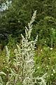 Artemisia vulgaris (20062176245).jpg