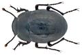 Arthrodeis subcostatus (Brullé, 1838) (11852995384).png