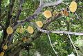 Artocarpus heterophyllus Ceret São Paulo 002.jpg