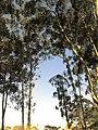 Arvores do Parque do Carmo - panoramio.jpg