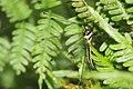 Ascalaphidae-Thattekad-2015-09-13-002.jpg