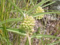 Asclepias viridiflora (3726504837).jpg