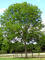 Ash tree in the overflow car park at Buckler's Hard - geograph.org.uk - 177027.jpg