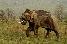 Asian Elephant at Corbett National Park4.jpg