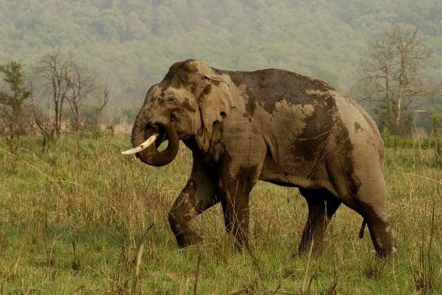 Asian Elephant at Corbett National Park4