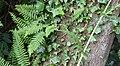 Association lierre (hedera helix) et Fougère (Polypodium vulgare) en épiphyte Marenla 03 aout 2017 03.jpg