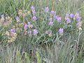 Astragalus adsurgens (3310755507).jpg