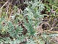 Astragalus vesicarius subsp. vesicarius sl11.jpg
