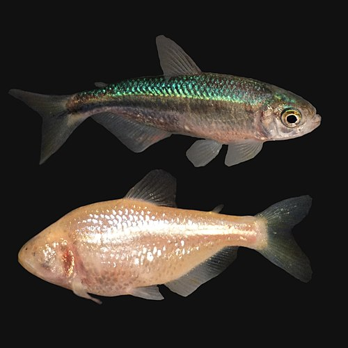 500px Astyanax mexicanus (cavefish) (27589386037)