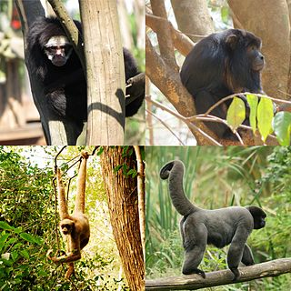 Atelidae family of mammals
