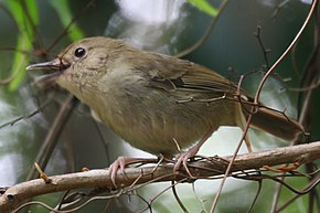Description de l'image Atherton Scrubwren (Sericornis keri) from front.jpg.