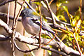 Atlas Chaffinch, Ourika.jpg