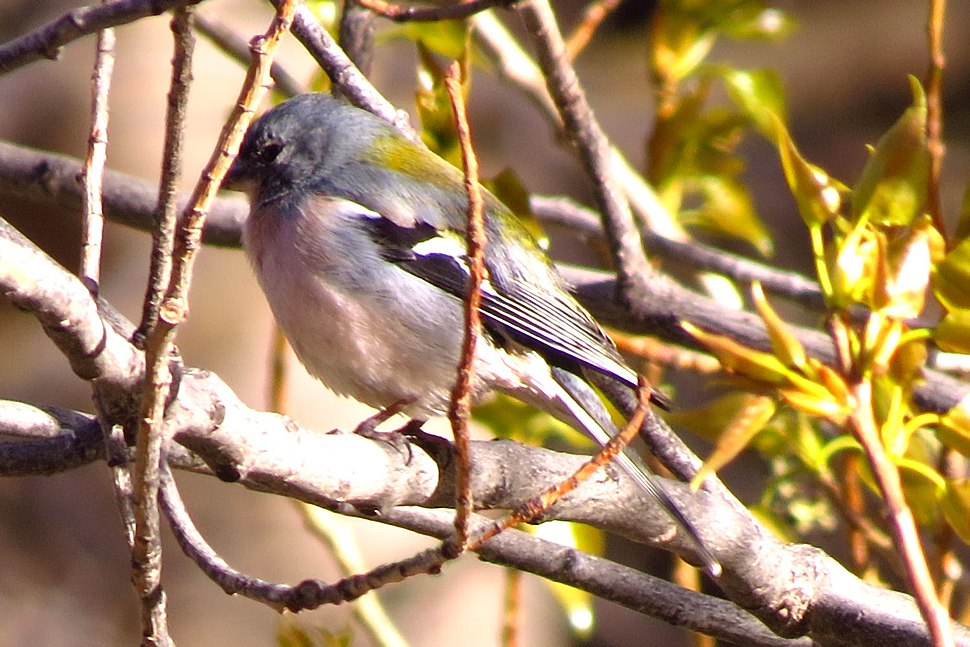 Atlas Chaffinch, Ourika