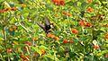 Atrophaneura aristolochiae (312646070).jpg