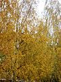 Autumn, Trees going Yellow - Flickr - anantal (1).jpg
