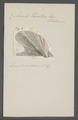Avicula tarentina - - Print - Iconographia Zoologica - Special Collections University of Amsterdam - UBAINV0274 075 10 0005.tif