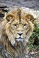 Aziatische leeuw (13171329783).jpg