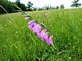 Búrová 5 - Gladiolus imbricatu.JPG