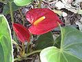 BCBG Anthurium Andraeanum 01.JPG